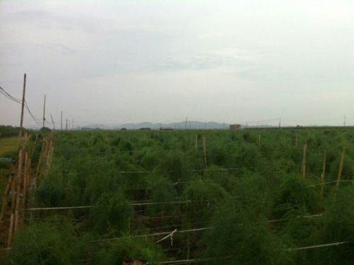 Trồng măng tây xanh tại miền bắc
