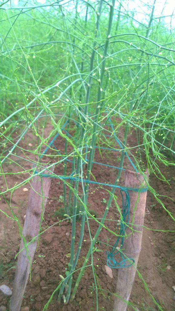 Tìm hiểu đặc tính sinh trưởng của cây măng tây ở việt nam