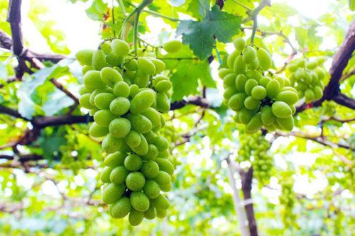 Bạn có biết cách trồng nho xanh Ninh Thuận tại nhà