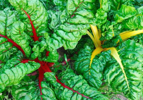 Rau cải cầu vồng – Thực phẩm sạch tốt cho sức khỏe