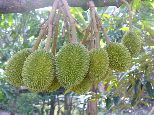 Nguyên tắc trồng sầu riêng bạn cần biết