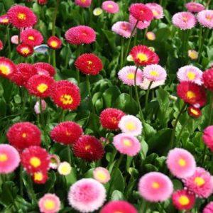 Hoa cúc Bellis Heaven