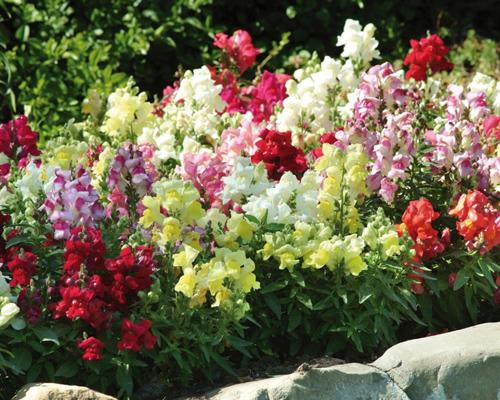 Hạt giống hoa mõm sói đẹp mua ở đâu?