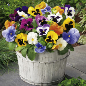 hoa pansy ru