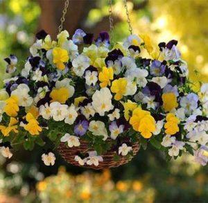 hoa pansy rủ