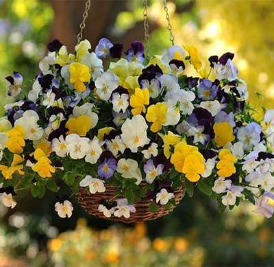 Hạt giống hoa pansy rủ chất lượng cao – Giống hoa F1 đẹp nhất