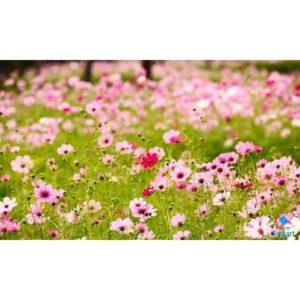 hoa sao nhái đơn