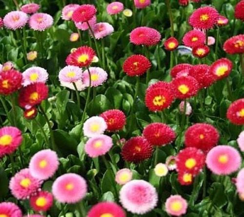 Hạt giống hoa cúc Bellis Heaven cho hoa đẹp