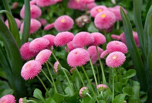 Hạt giống Hoa cúc Bellis Tassochất lượng
