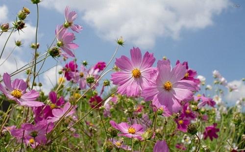 Hoa sao nhái đua nở