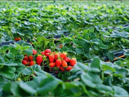 Giá dâu tây đà lạt ở Hà Nội bao nhiêu