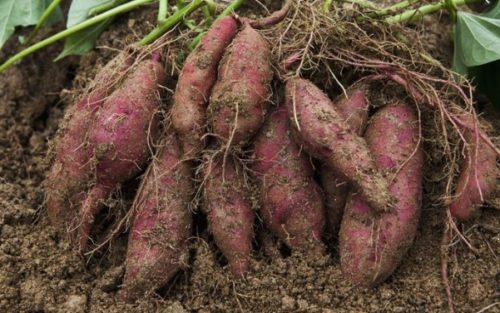 Bí quyết thần thánh trồng khoai lang lớn nhanh như thổi tại nhà