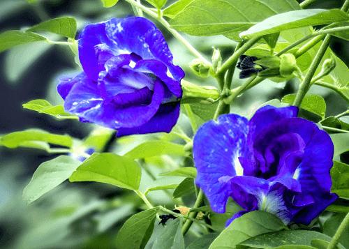 Bông hoa đậu biếc xanh ngát đua nở