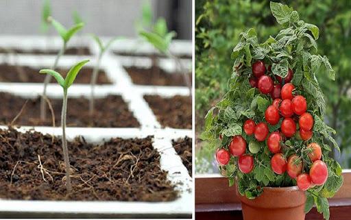 Trồng cà chua bi sinh trưởng tốt