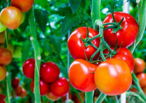 Hướng dẫn chi tiết cách trồng cà chua bi tại nhà