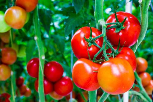 Kỹ thuật trồng cà chua bi cho nhiều trái