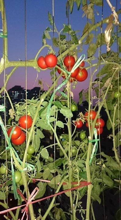 Những trái cà chua đỏ mọng ngoài ban công