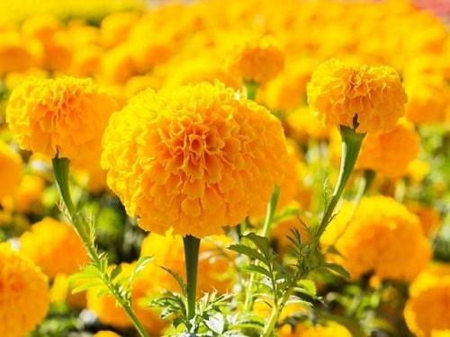 cach uom hat giong hoa cuc