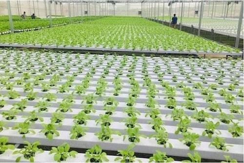 mô hình trồng rau sạch VietGAP thủy canh