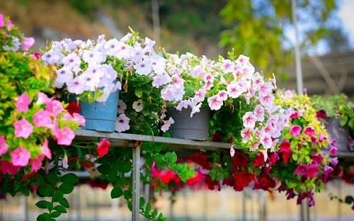 Những chậu hoa dạ yến thảo xinh xắn