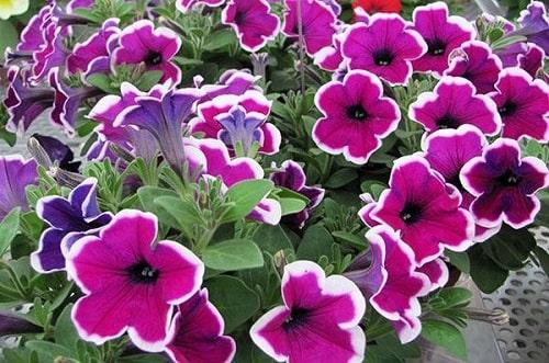 Hoa dạ yến thảo đơn như những chiếc loa nhỏ xinh